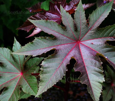Ricinus communis var. gibsonii is a compact variety with gorgeous dark red, metallic foliage.