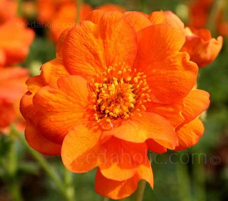 Geum 'Borisii-Strain' produces wonderful vivid orange-red toned flowers from late spring into summer