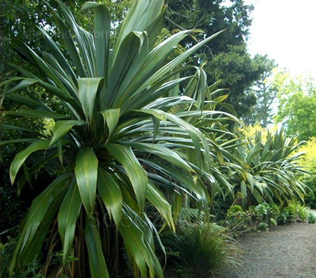 Cordyline indivisa 'Mountain Cabbage Tree'