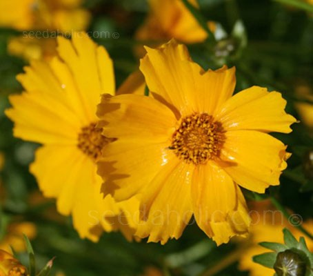 Their dazzling display of large, golden yellow daisy like flowers begins in late spring and continues throughout the summer.