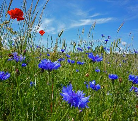 Today cornflowers are rare in the wild, they flourish instead in gardens.