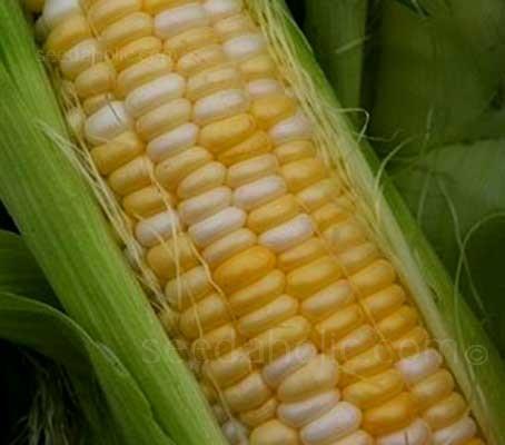 Sweetcorn 'F1 Luscious' is a bi-colour, sugar enhanced maincrop variety that matures in 75 days