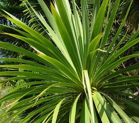 Cordyline australis 'Cornish Palm'