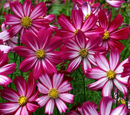 'Cosimo Red-White' blooms with beautiful bicoloured flowers, each striped in purple-red and white