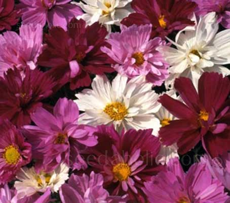 Cosmos 'Psyche Mix' is renowned for its stunning array of colours and surprisingly large blooms.