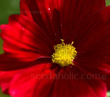 'Rubenza' represents a unique colour for Cosmos. A sultry ruby red that combines favourably with other colours.