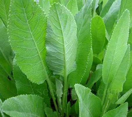 Costmary is one of the most interesting and complex of herbs.