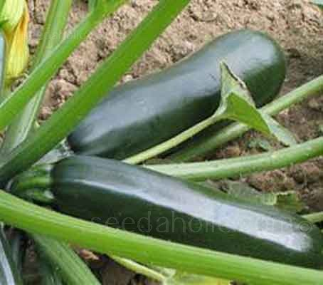 Courgette Ambassador F1 is a popular professionally-grown variety and well known for the home gardener.