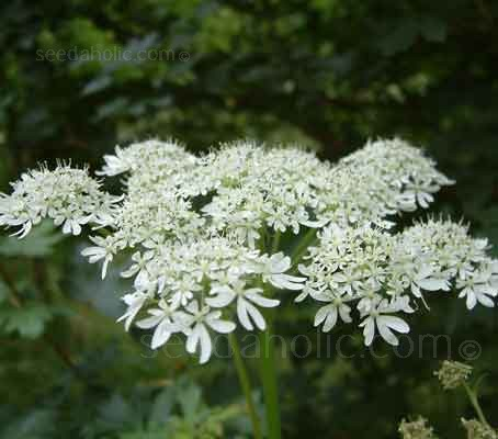 Our native Cow Parsley has a sophisticated form, with delicate, open, white lacy umbels, they look as though they're erupting from a well shaken champagne bottle.
