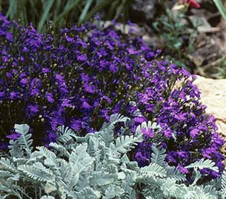 It is still considered by most keen gardeners to be the very best Lobelia for border edging and formal bedding.