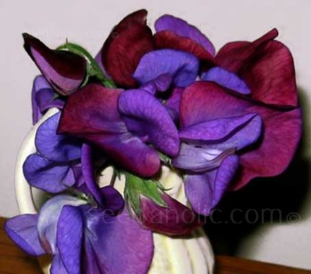 'Cupani' was first cultivated by a Sicilian monk, Father Francis Cupani .... The 'original' Sweet Pea!