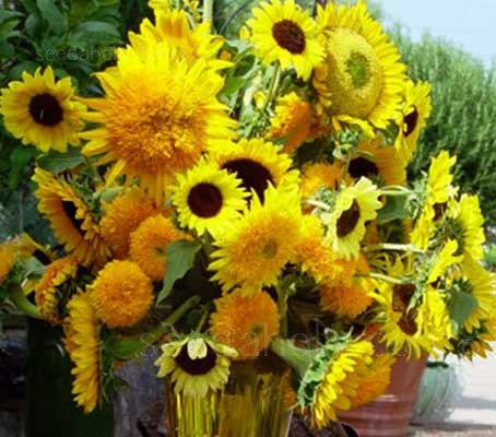 Helianthus 'Cut Flower Mixture' offers a diverse range of varieties in a wide range of shapes and colours.