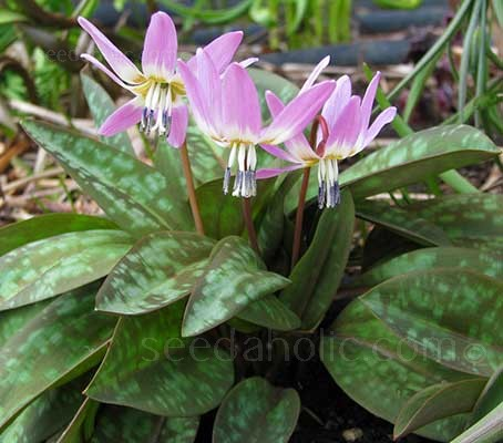 Erythronium dens-canis is attractive from the moment it pokes up from the soil in early spring.