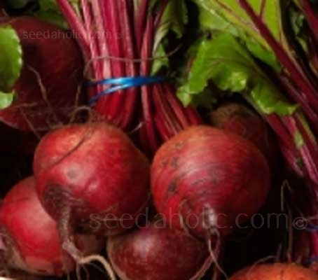 Beetroot Detroit 2 is a classic, main-crop globe beetroot.