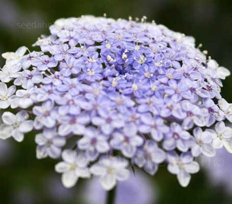 Didiscus caerulea, known as the Blue Lace Flower for its unusual sky-blue flower colour.