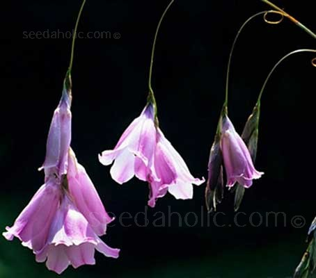 Dierama riparia is a very rare, newly introduced semi-dwarf species from South Africa.