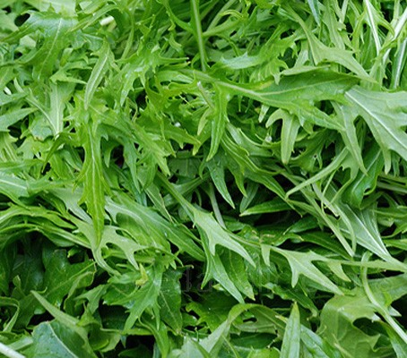 Wild rocket is gaining in popularity; it has narrower and more deeply divided, aromatic leaves than the annual variety.