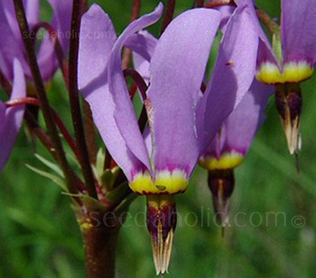 Dodecatheon meadia 'Shooting Star'