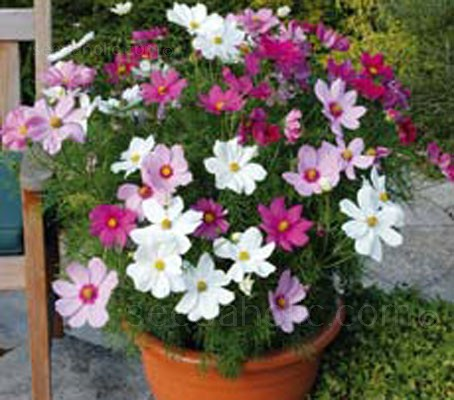 At last, the beauty of cosmos without staking or blocking out other bedding plants. Growing to only 60cm tall they can be grown in beds or even large containers.