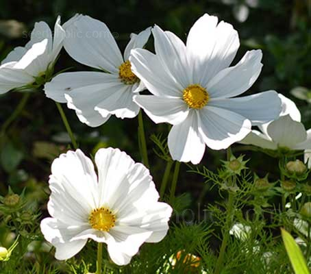 Cosmos 'Dwarf Early Vega White' are easy to grow and quick to flower.