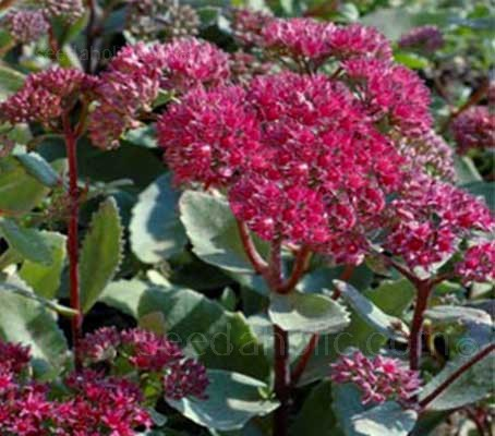 Hugely impressive in any garden, Sedum telephium 'Emperors Wave' is ideal for adding a curious splash of colour to a garden even in winter.