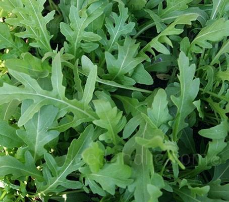 Rocket, Salad Rocket 'Esmee' Organic