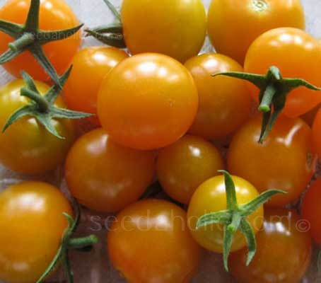 F1 Sungold is a superb cherry type tomato with delicious bite size fruits.