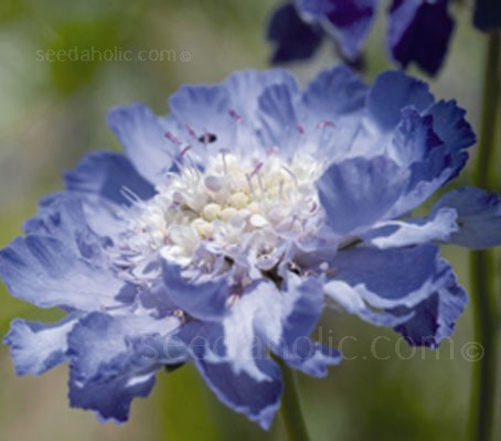 Scabiosa caucasica 'Fama' is a most elegant flower.