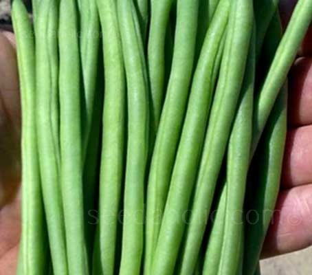 French Bean 'Faraday' is one of the best, if not the best new Dwarf French Bean to become available for some time.