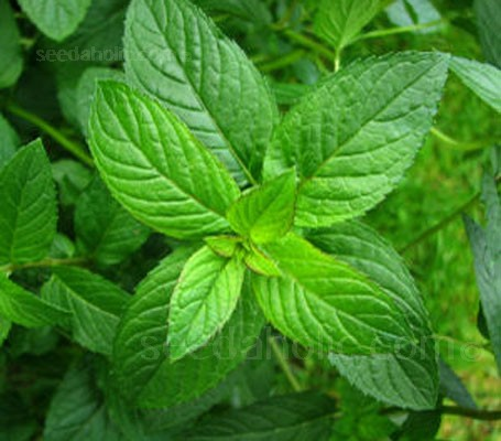 Mint, 'Peppermint' Mentha x piperita