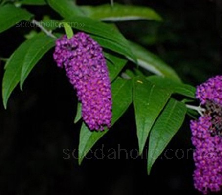 Few plants shine as brightly in late summer as the buddleia.
