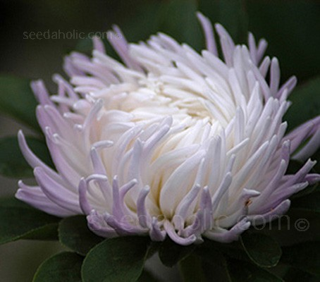 """'Tiger Paw Sea Star' has to be a contender for the title of """"The Most Elegant Aster"""" in the garden or in the vase."""