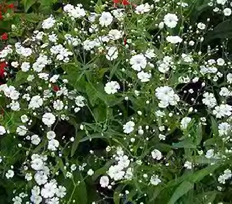 Gypsophila elegans 'Covent Garden'