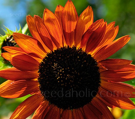 Sunflower 'Earthwalker' features an intoxicating mixture of rich orange, bronze, deep terracotta and chocolate