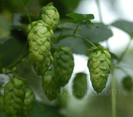 Humulus lupulus 'Hops'