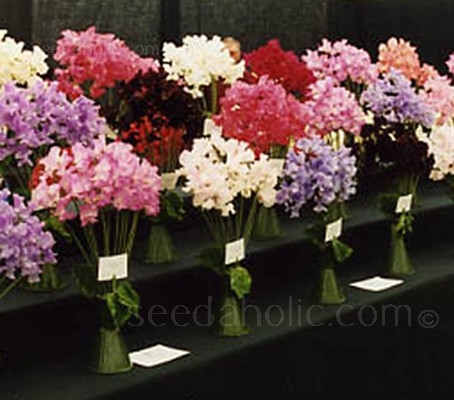 "The award winning sweet pea. Sweet Pea ""Mammoth Mix"" has both extra early, and extra large blooms."