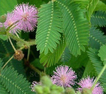Mimosa pudica 'The Sensitive Plant'