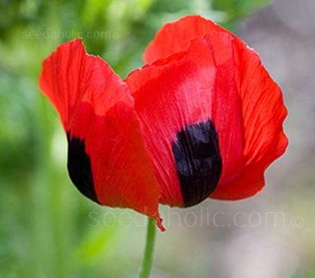 Papaver glaucum 'Tulip Poppy'