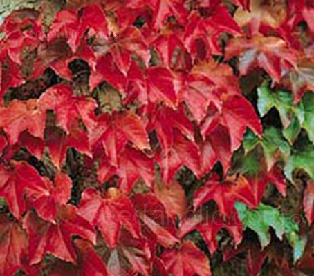 Boston ivy is a wonderful ornamental vine with elegant, dark green glossy foliage which is replaced with a vivid range of crimson reds in autumn.