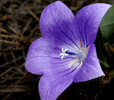 There are not too many richly coloured blue flowers, but this is certainly one of them.