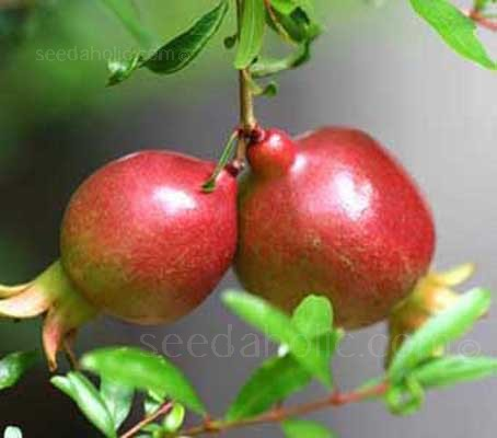'The Dwarf Pomegranate' is one of the best compact, ornamental shrubs for courtyards and small gardens.