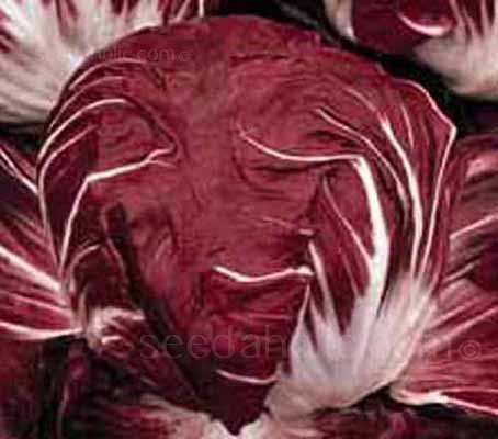 """""""Palla Rossa 3"""" from Chioggia in Italy, is a very reliable radicchio,"""