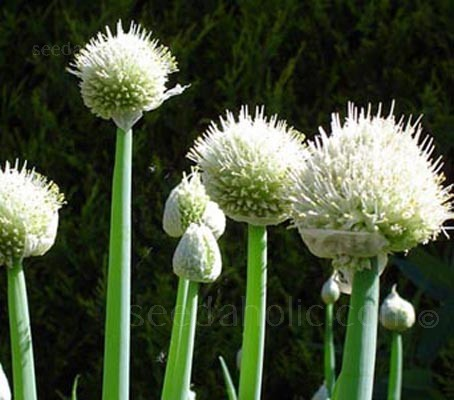 Onion, Welsh Green Stem
