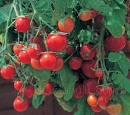 Tomato 'Garden Pearl'