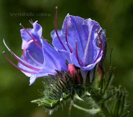 Viper's bugloss is one of, if not THE very best plant to attract bees to your garden.