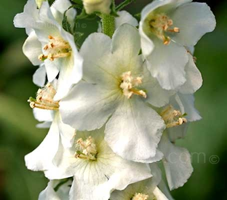 The lovely white-flowering species of Verbascum, 'Flush of White' is a true perennial