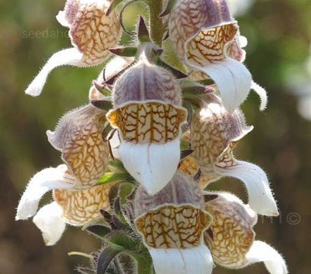 Digitalis lanata has a beautiful colouration. This unusual foxglove is well-worth trying in a shady spot in the garden.