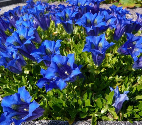 Each brilliant bloom faces upward showing its electric blue petals with vibrant stripes sinking deep into the flower's throat.