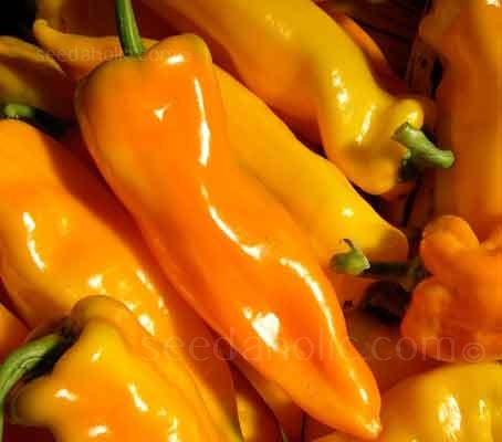 The name of this Italian heirloom translates as 'Horn of the Bull', a tribute to this Sweet Peppers' full, tapered shape.