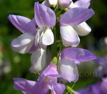 The plants errupt in spring to produce countless sprays of fragrant lavender-blue flower spikes.